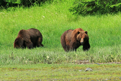 Grizzly Bear approaches on shores of Klag Bay along the panhandle of SE Alaska