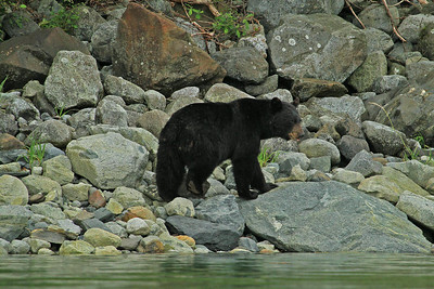 Black bear patrols the shore of Hugh Miller Inlet in Glacier Bay National Park searching for fresh shell fish.