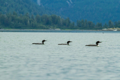 Loons paddles the waters of Hugh Miller Inlet in Glacier Bay National Park
