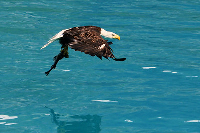 Bald Eagle takes off with an afternoon snack in Glacier Bay National Park.