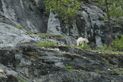 Mountain Goat traverses a ledge high above the waters of Glacier Bay National Park near Gloomy Knob.