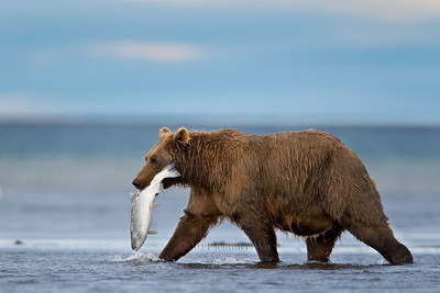 Salmon, Catch of the Day. Brown Bear. Katmai National Park H7C0075