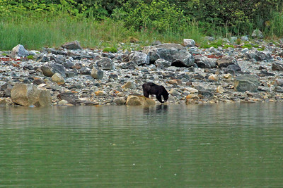 Black bear snacks on some shell fish along the shore of Hugh Miller Inlet in Glacier Bay National Park.