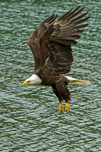 Bald Eagle lifts off and displays its spectacular plumage.