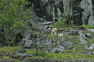 Mountain Goat and kid graze on a ledge high above the waters of Glacier Bay National Park near Gloomy Knob.
