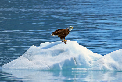 Bald Eagle and fish near Margery Glacier in Glacier Bay National Park
