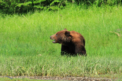 Grizzly Bear grazing on shores of Klag Bay along the panhandle of SE Alaska