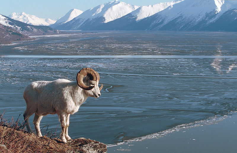 This is one of my all-time favorite photos.  I spent several days with this ram, and took many photos, but none better than this.  Notice the bore tide coming up Turnagain Arm and the Kenai Mts. in the background.  What a memorable day, one I'm sure I'll never forget.