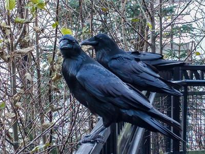 Ravens On The Rail