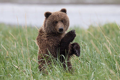 Kung-Fu Grizzly