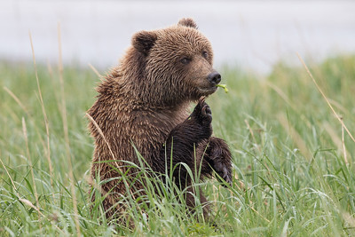 Alaskan Brown Bear, Lake Clark National Park