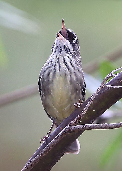 White-browed Scrubwren having a bit of a warble.