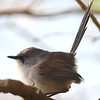 Red-wing wren female