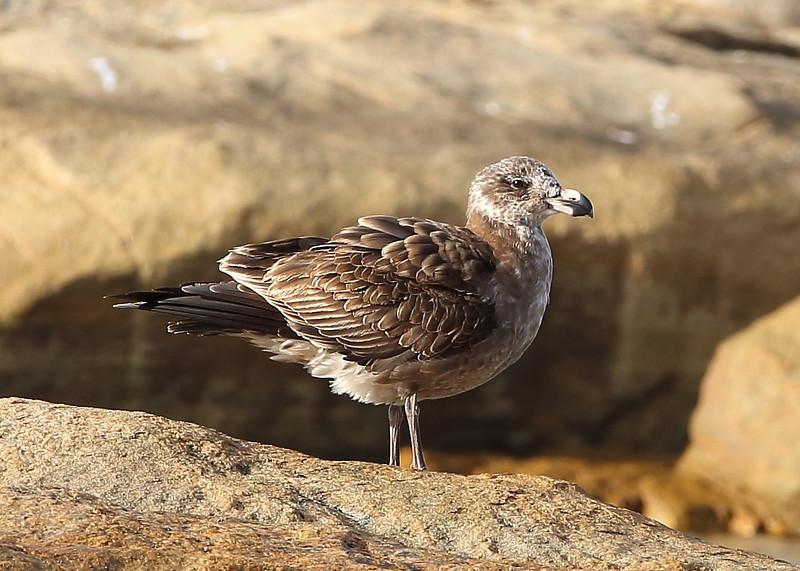 Pacific Gull  juvenile