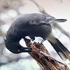 Grey Currawong. Lousy weather and light but he was happy - he'd found a feed.