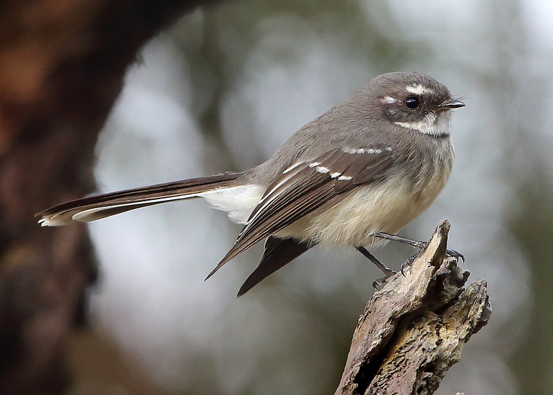 Grey fantail. Despite these being common birds I never tire of taking pictures of them with their postures and subtle colouring.
