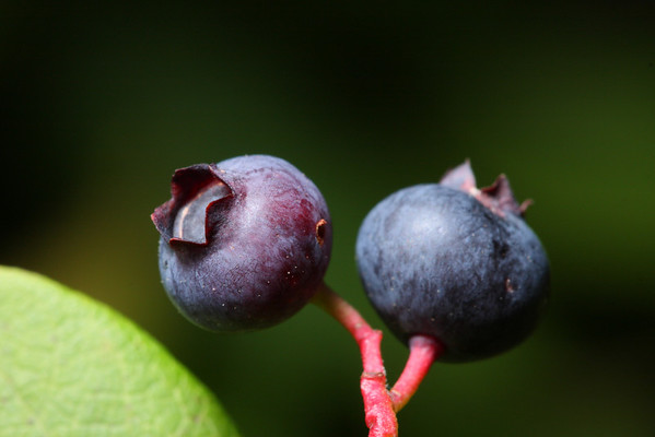 A pair of blueberries growing in the Albany Pine Bush