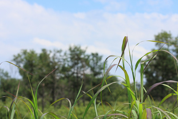 Tall grasses in the Pine Bush against the trees and sky.