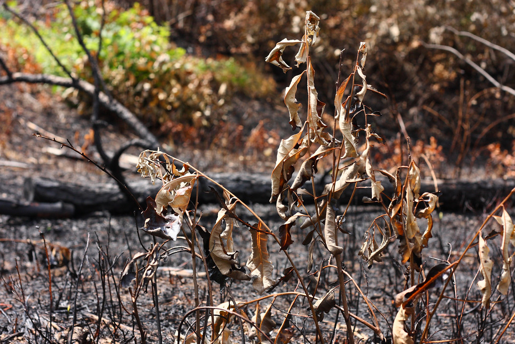 Dead leaves in a controlled burn zone.