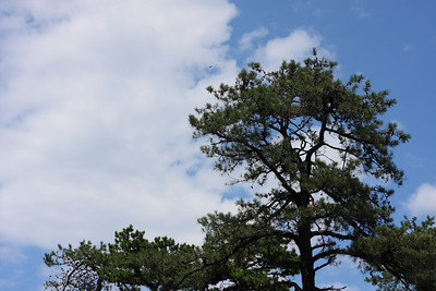 A pitch pine in the Albany Pine Bush, with a turkey vulture flying far overhead against the clouds.
