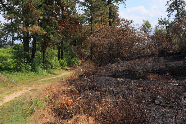 The edge of a burn zone in the Albany Pine Bush, next to one of the maintained trails.