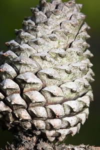 A pitch pine cone