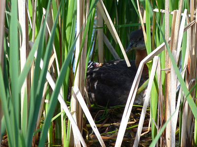 Red-necked Grebe female and chick on nest