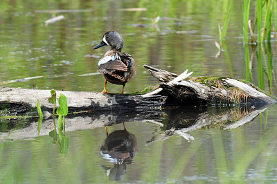 Blue-winged teal (3)