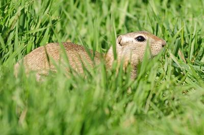 Ground squirrel (2)