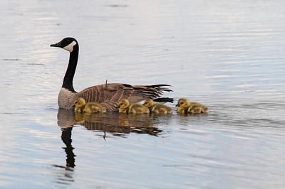 Canada goose  (7)