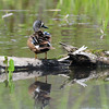 Blue-winged teal (5)