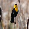 Yellow-headed blackbird (15)