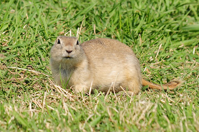Ground squirrel (1)
