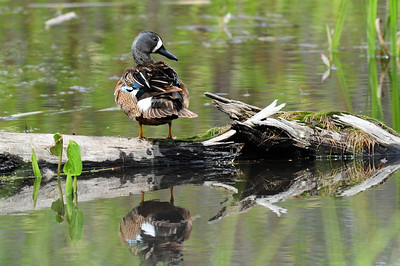 Blue-winged teal (1)