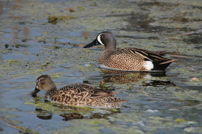 Blue-winged teal (6)