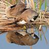 Canada goose (2)
