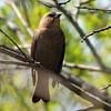Brown-headed cowbird (2)