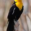 Yellow-headed blackbird (16)
