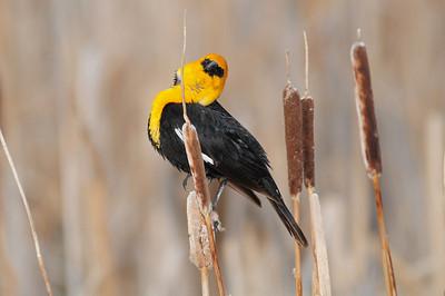 Yellow-headed blackbird (10)