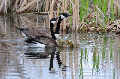 Canada goose  (5)