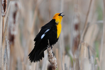 Yellow-headed blackbird (3)