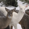 """ Braving a Winter Snowstorm ""  Wild Albino whitetail deer of Boulder Junction Wisconsin"