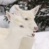 "Two Heads are Better Than One""  Wild Albino whitetail deer of Boulder Junction Wisconsin"