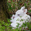 Albino Fawn Sitting Pretty  3