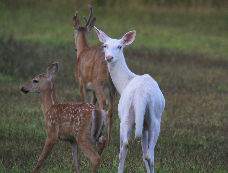 """  I See You "" Wild Albino whitetail deer of Boulder Junction Wisconsin"