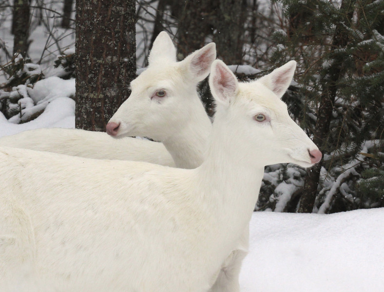 """ Seeing Double ""  Wild Albino whitetail deer of Boulder Junction Wisconsin"