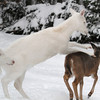 """ You Have Entered the Danger Zone "" 3  Wild Albino whitetail deer of Boulder Junction Wisconsin"