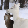 """ Frosty Kisses ""  Wild Albino whitetail deer of Boulder Junction Wisconsin"