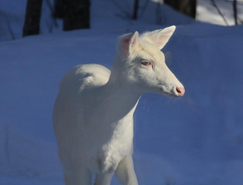 """  In the Spotlight  ""  Wild Albino whitetail deer of Boulder Junction Wisconsin"