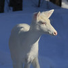 """  In the Spotlight  ""  Wild Albino whitetail deer of Boulder Junction Wisconsin"